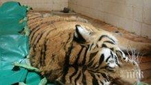 Тигър уби ловец в руската тайга
