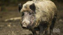 ЗАРАЗА: Глиган донесе свинската чума и в Пернишко