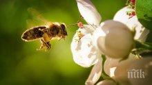 Колко живот ни остава, ако изчезнат пчелите