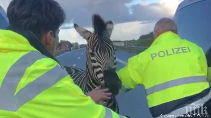 Две зебри причиниха хаос на магистрала в Германия, гръмнаха едната