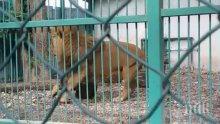 След поредния случай на лъв в окаяно състояние в Разград: експерти зоват за закриването на няколко зоопарка (ВИДЕО)