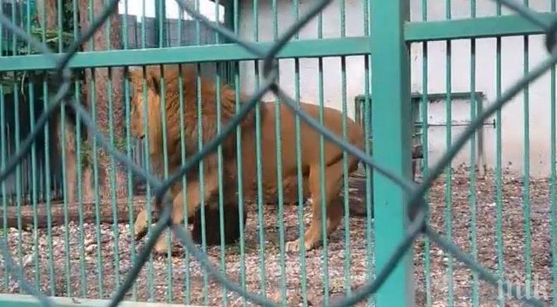 Поставиха диагноза на болния лъв Любо от зоопарка в Разград (СНИМКИ)