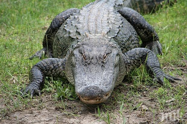 ПЪЛЕН ШАШ: Двама дадоха на алигатор да пие бира, арестуваха ги