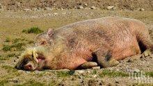 Африканската чума по свинете слезе до Асеновград