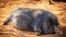 Две нови огнища на чума по свинете регистрираха в Шумен