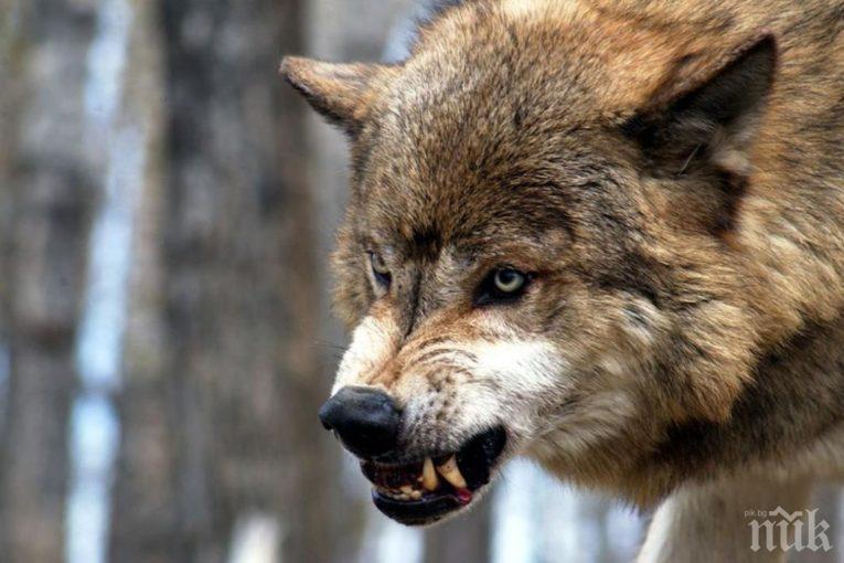 ТОРМОЗ: Вълци върлуват в село Раздол, хората в ужас да не бъдат изядени