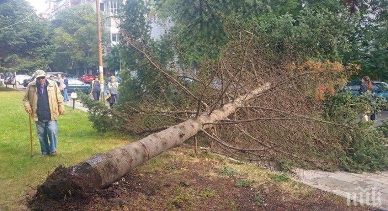 ТЕЖЪК ИНЦИДЕНТ: Дърво падна върху главата на 43-годишния Арсо - счупи му черепа