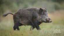 Нови случаи на чума по свинете