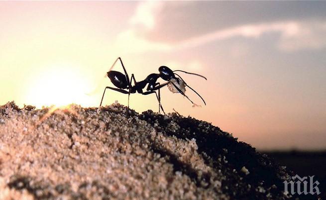 УНИКАЛНО: Заснеха най-бързаха мравка в света, Юсейн Болт пасти да яде (ВИДЕО)