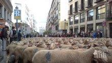 2000 овце преминаха по улиците на Мадрид