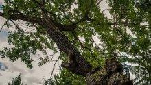 """500-годишен дъб от Ново село е номиниран за """"Дърво с корен 2019"""""""