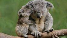 Пожарите в Австралия отнеха живота на стотици коали