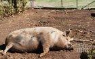 БЕЗПОЩАДНО: Умъртвиха възкръсналите прасета край Ахелой - стопанин млати здравен инспектор