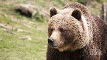 СЪН НЕ ГИ ЛОВИ: Провериха 7 сигнала за нападения на мечки в Смолянско
