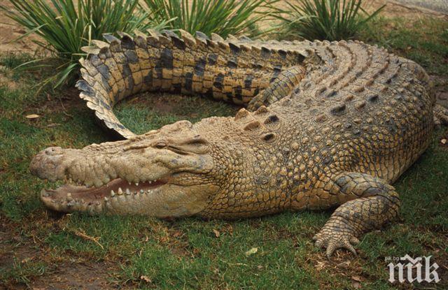 Австралиец се освободи от челюстите на крокодил, като му бръкна в окото