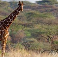 жираф падна джип туристи юар предизвика катастрофа