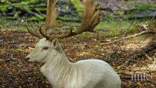 Бял елен изненада жителите в село в Карловско