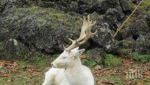 ЧУДО: Бял елен слезе от Балкана в Карловско! Ето какво означава това според народните вярвания