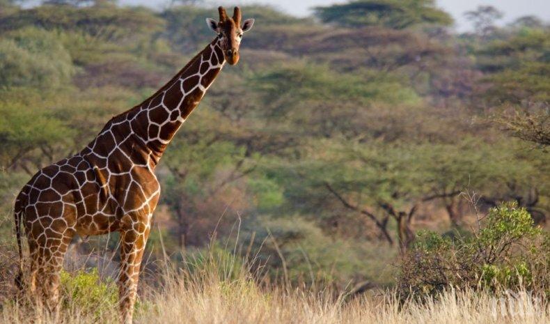 Евтаназираха най-възрастния мъжки жираф в Европа