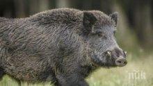 Стадо диви свине унищожи скривалище на кокаин в гора в Тоскана