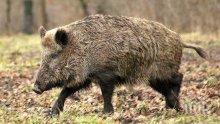Регистрираха първи случай на африканска чума по свинете в Кюстендил