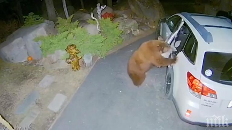 Мечка влезе в кола, за да поспи на задната седалка (ВИДЕО)