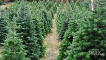 Високи цени на елхите в САЩ