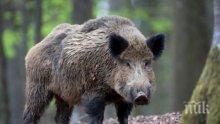 Нов случай на свинска чума блокира територии край Плевен