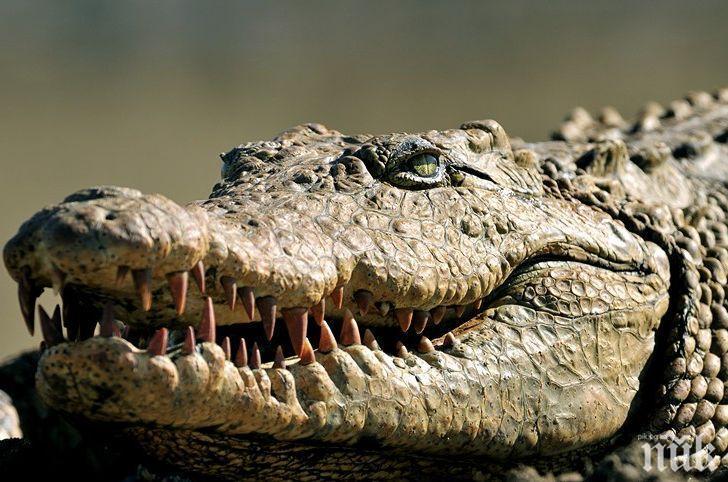 ХРАНИТЕЛНА ВЕРИГА: Мъж тръгна за спанак, изяде го крокодил