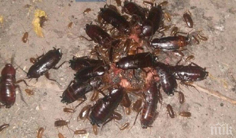 ГНУСНА НАПАСТ: Гигантски хлебарки налазиха Москва
