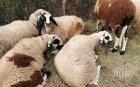 Осъдиха фермер, укрил 6 овце от еврофонд