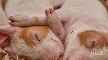 Чумата тръшна 27 000 прасета в Индонезия