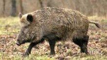 Откриха нови случаи на африканска чума по свинете в Разград