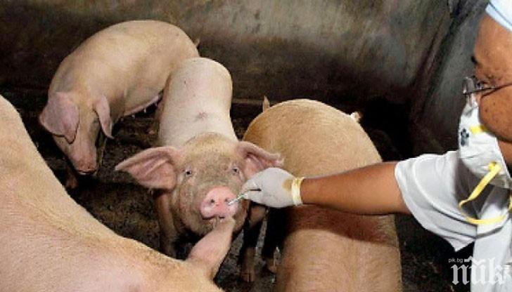 НОВО ОГНИЩЕ НА АФРИКАНСКА ЧУМА: Ще поскъпне ли свинското месо