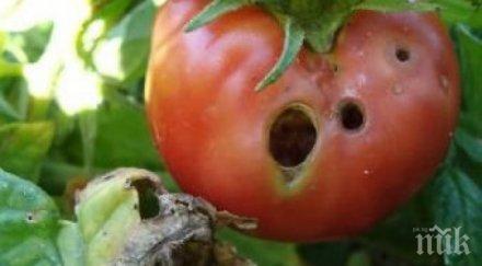Пробутват ни болни гръцки домати
