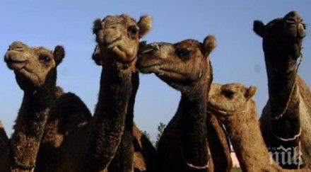 снайперисти гърмят 000 камили австралия били заплаха