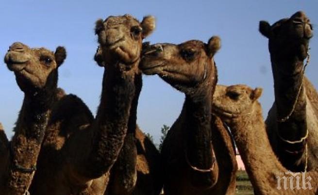 Снайперисти гърмят 10 000 камили в Австралия - били заплаха