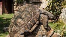 100-годишна костенурка полов атлет спаси вида си на Галапагоските острови