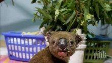 Петиция зове коалите от Австралия да бъдат заселени в Нова Зеландия