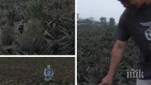 Унищожена реколта: На Филипините ананасите посивяха