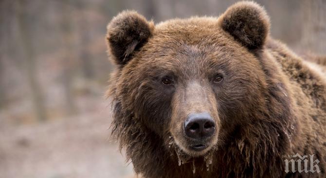 АНОМАЛИЯ: Топлото време събуди мечките в Русия
