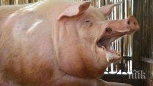 ШОК! Гигантски свине изядоха фермер в Полша