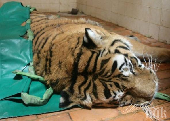 Индийски лекари не успяха да сложат протеза на тигър