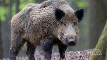 Удължават лова, прасетата намаляват