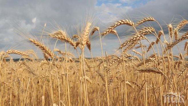 ЛОШИ ПРОГНОЗИ: Чака се слаба реколта от пшеница
