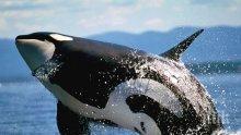 НЕВИЖДАНО: Китове-убийци преследват акула-човекоядец (ВИДЕО)