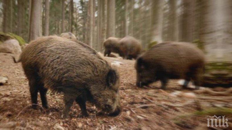 Увеличават се случаите на африканска чума по дивите свине в Североизточна България