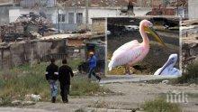 Еколози в шок: Роми кулинари готвят розовите пеликани с кисело зеле!