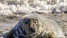 ЗАПЛАХА! Липсата на лед застрашава тюлените в Балтийско море