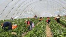 Британски фермери подготвят чартърни полети за работници от България